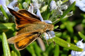woodlandskipper_small