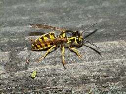 yellowjacket_small