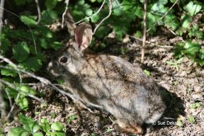 Cottontail_small