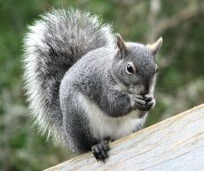 westerngraysquirrel_small