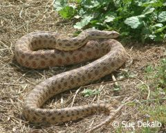 gophersnake_small